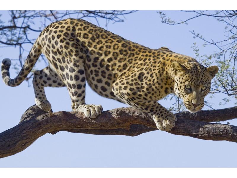 176V8 - Fototapet jaguar i ett träd