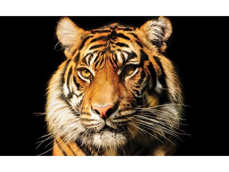 1964V8 - Fototapet bengalisk tiger