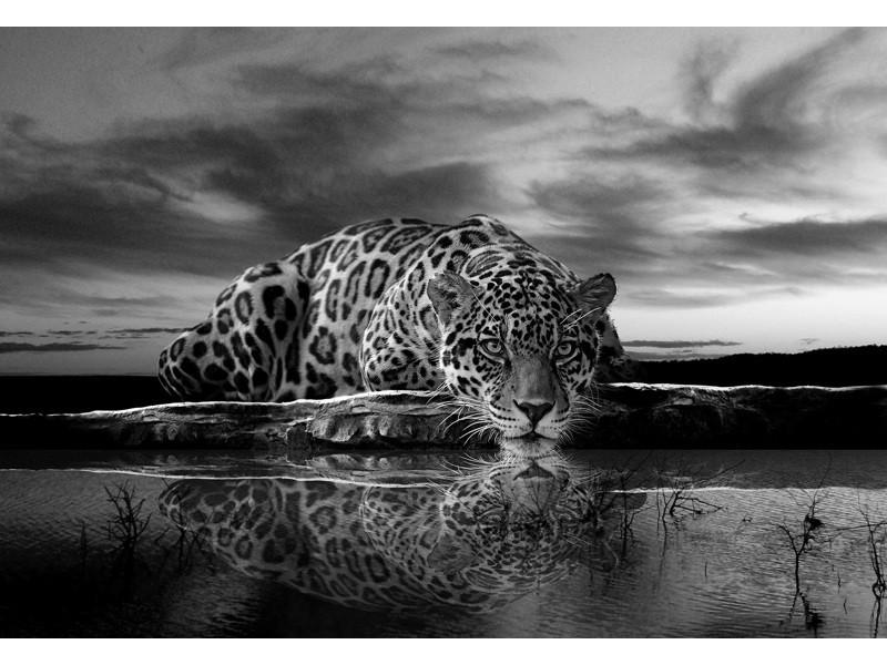 218V8 - Fototapet jaguar i svartvit