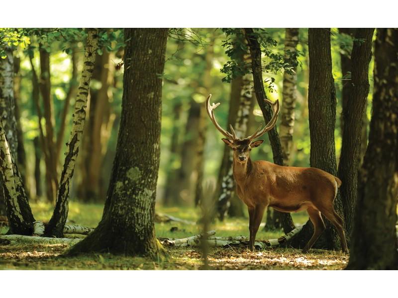 2287V8 - Fototapet hjort i morgonskogen
