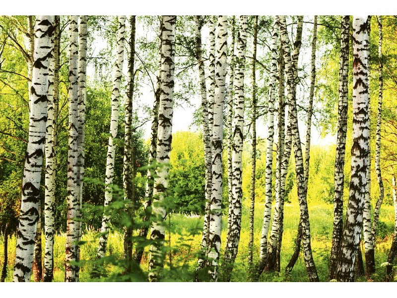 FOTOTAPET EASY UP BIRCH FOREST