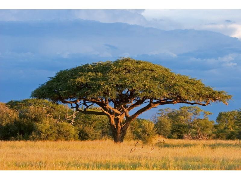 FOTOTAPET EASY UP ACACIA TREE