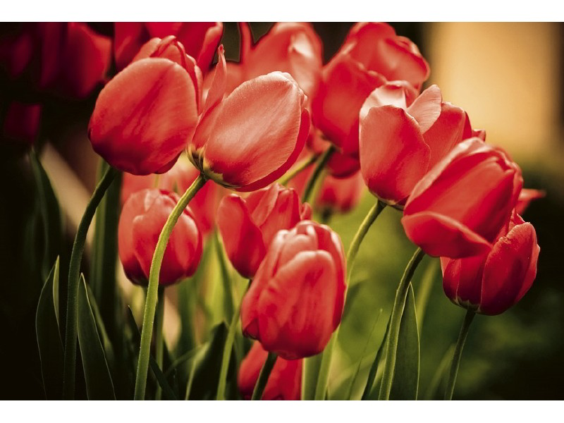 FOTOTAPET EASY UP RED TULIPS