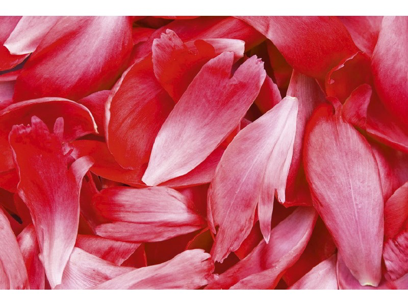 FOTOTAPET EASY UP RED PETALS
