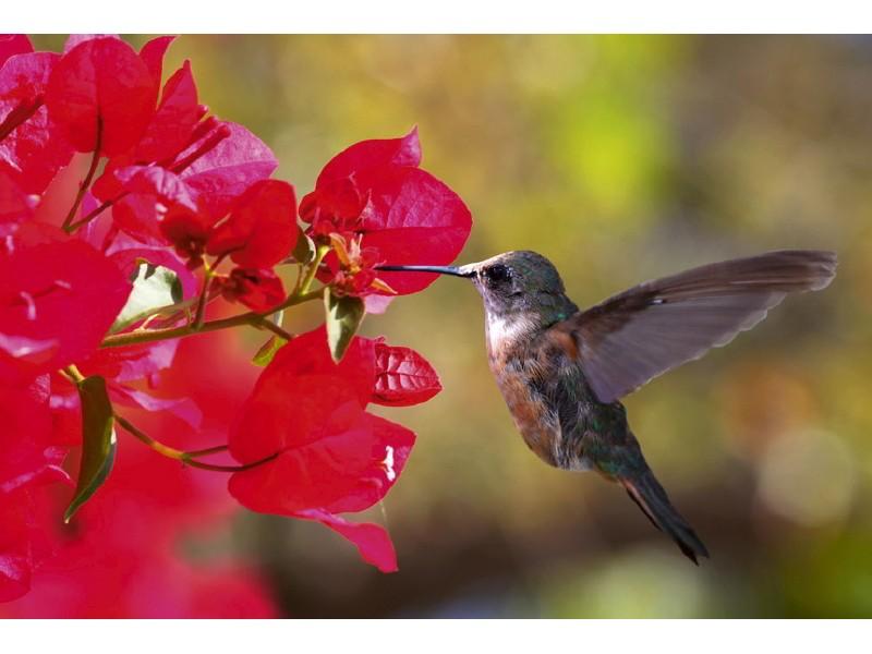 FOTOTAPET EASY UP HUMMINGBIRD