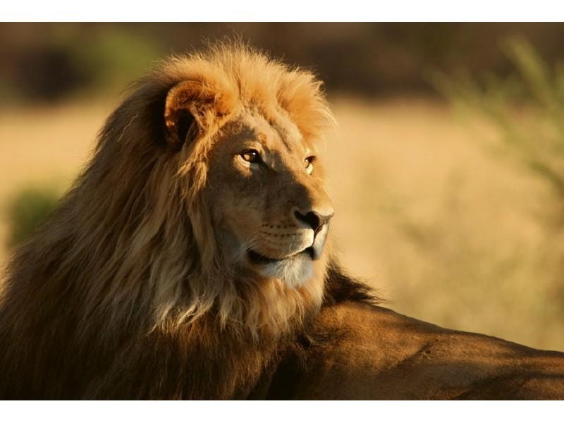 FOTOTAPET EASY UP LION