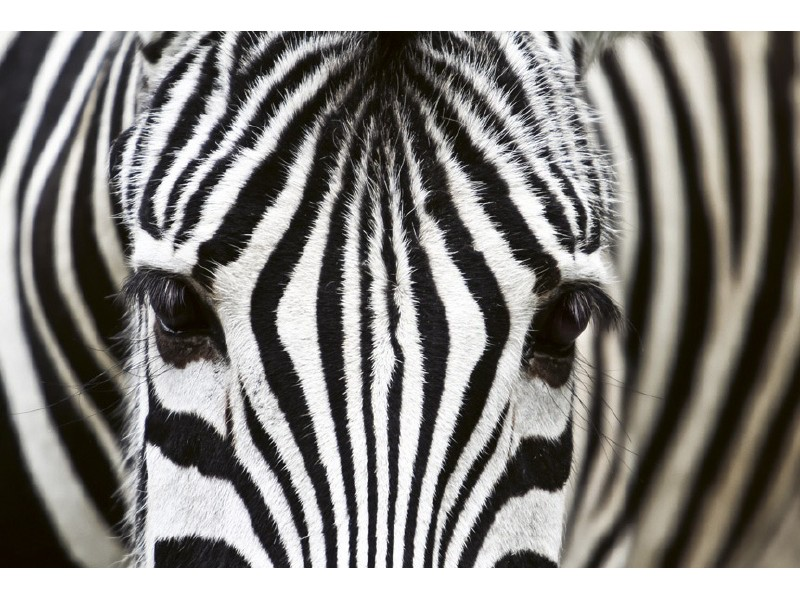 FOTOTAPET EASY UP ZEBRA