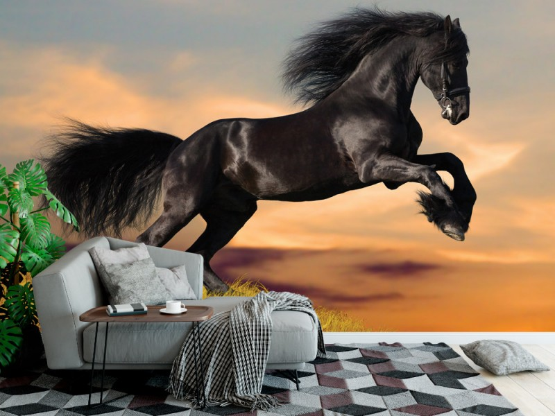 Fototapet svart frisisk häst i solnedgång (12763862)