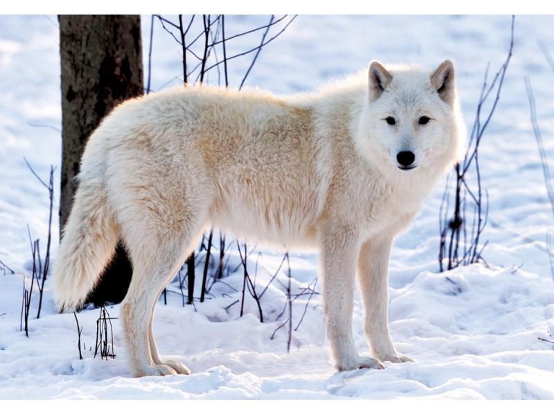 Fototapet med härlig vild vit varg på vintern (37194328)