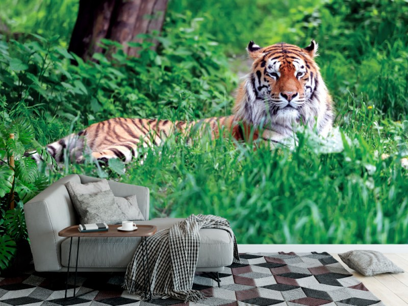 Fototapet Amur tiger på grönt gräs i sommardag (37849866)