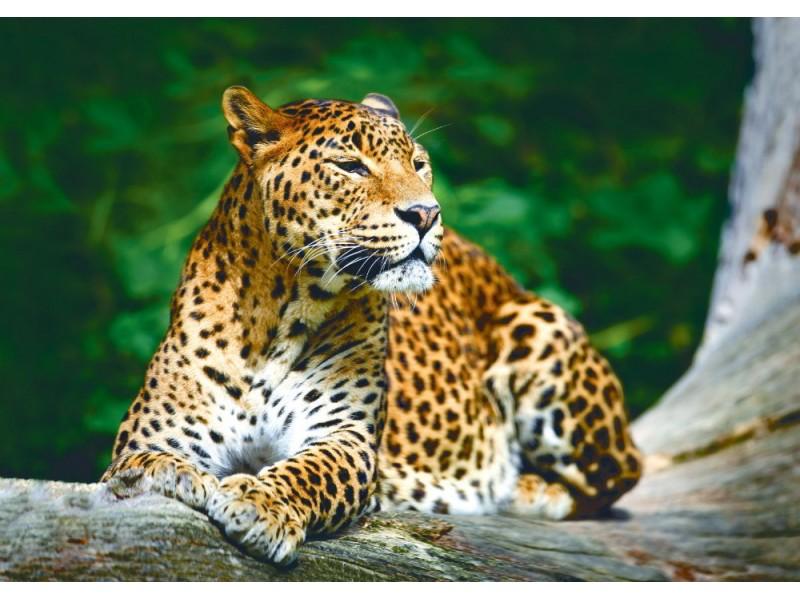 Fototapet en lankesisk leopard