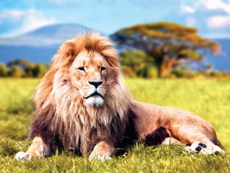 Fototapet stort lejon