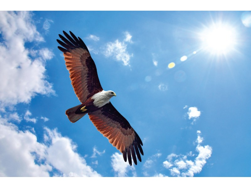Fototapet havsörn (Brahminy kite)