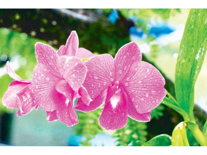 Fototapet orkidéblomma i trädgården