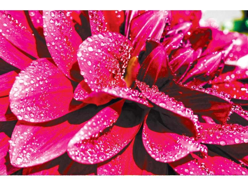 Fototapet lila dahlia blomma med regndroppar