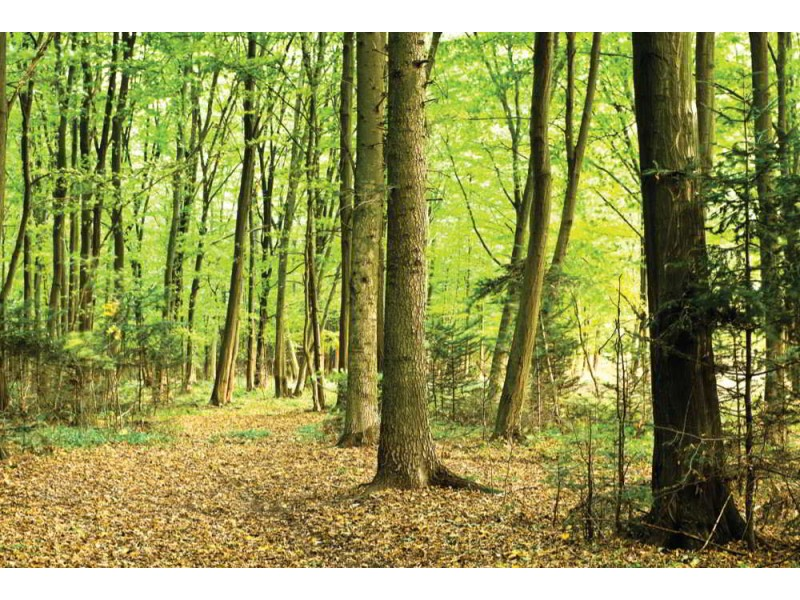 Fototapet solljus i en grön skog