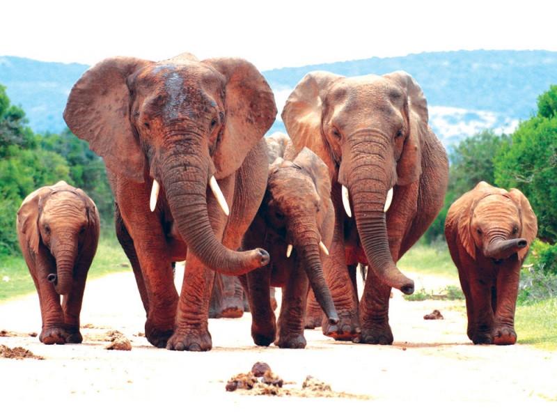 Fototapet en flock elefanter (29885303)