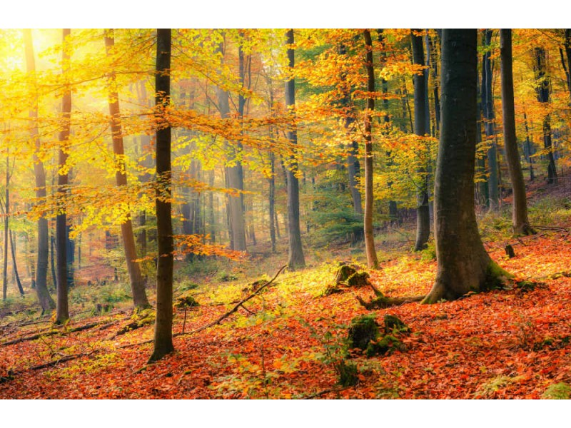 Fototapet Colorful And Foggy Autumn Forest