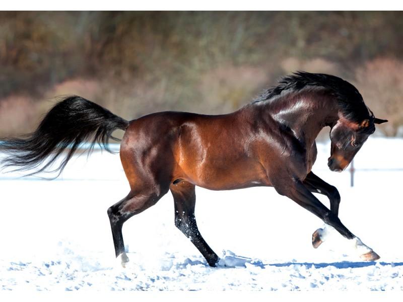 Fototapet hästspring i snön (32096814)