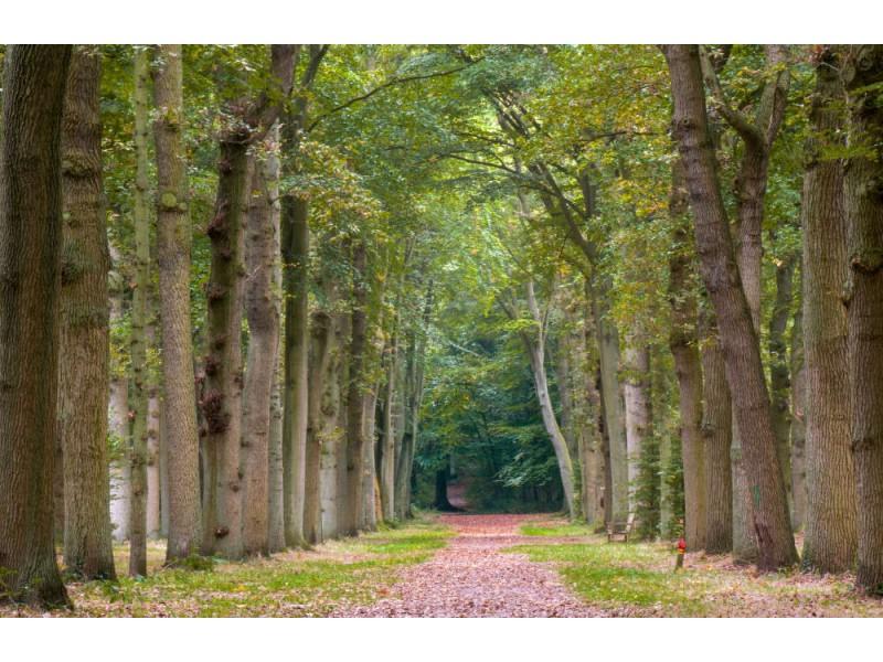 Fototapet Old Oak And Beech Trees Lane