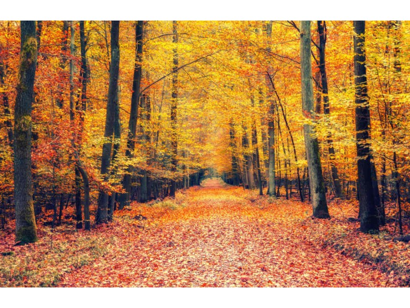 Fototapet Pathway In The Autumn Forest